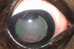 Equine Cataracts